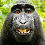 Чудесная история обезьяньего селфи или как разорить профессионального фотографа